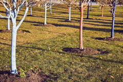 Bomen die voor de winter worden beschermd Stock Afbeelding