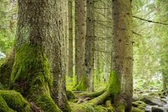 Bomen in donkergroen bos Royalty-vrije Stock Foto