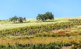 Bomen door wijngaarden worden omringd die Royalty-vrije Stock Afbeelding