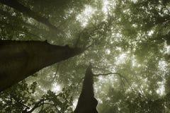 Bomen in een donker bos met groene mist Stock Fotografie