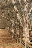 Bomen in een rij Stock Afbeelding