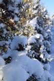Bomen en Sneeuw Royalty-vrije Stock Foto