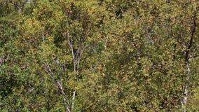 Bomen en struiken die de herfstkleuren tonen binnen een nauwe vallei in het rookkwartsen nationale park, Schotland stock footage