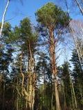 Bomen in foresrt Royalty-vrije Stock Afbeeldingen