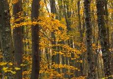 Bomen in geel Stock Afbeeldingen