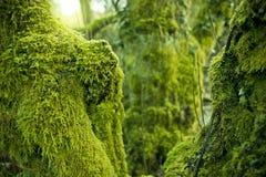Bomen in Groen Mos worden behandeld dat royalty-vrije stock foto's