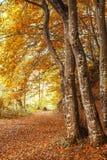 Bomen in het bos bij de herfst Stock Afbeelding