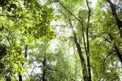 Bomen in het bos - de kroon van bladeren tegen de hemel Royalty-vrije Stock Foto's