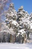Bomen in het bos onder sneeuw in het de winterbos Royalty-vrije Stock Afbeeldingen