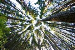 Bomen in het Bos van de Pijnboom Stock Afbeeldingen