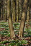 Bomen in het de lentehout, Europa Stock Foto