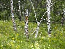 Bomen in het de zomerbos Stock Fotografie