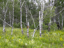 Bomen in het de zomerbos Stock Foto's