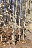 Bomen in het hout Royalty-vrije Stock Afbeeldingen