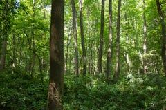 Bomen in het hout Stock Afbeelding