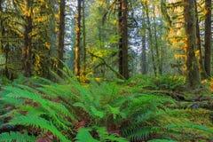 Bomen in Hoh Rainforest Royalty-vrije Stock Afbeeldingen