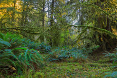 Bomen in Hoh Rainforest Royalty-vrije Stock Afbeelding