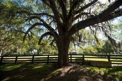 Bomen met het hangen van Spaans mos Royalty-vrije Stock Fotografie