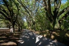 Bomen met het hangen van Spaans mos Stock Fotografie