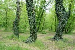 bomen met klimop worden behandeld die Royalty-vrije Stock Foto's