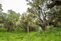 Bomen met korstmossen en epiphytes in bergregenwoud van Tanzania stock foto's