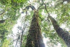 Bomen met mos die van onderaan in het bos in Kew Mae Pan Mountain Ridge in Chiang Mai, Thailand bekijken Royalty-vrije Stock Foto