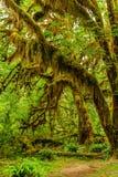 Bomen met mos in het regenwoud worden behandeld dat Royalty-vrije Stock Foto