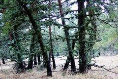 Bomen met mos worden behandeld dat Royalty-vrije Stock Fotografie