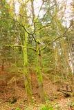 Bomen met mos worden behandeld dat Stock Foto