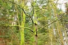 Bomen met mos worden behandeld dat Royalty-vrije Stock Afbeelding