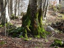 Bomen met mos worden behandeld dat Stock Afbeelding