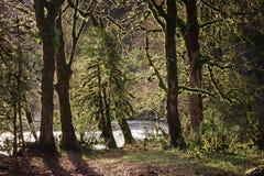 Bomen met mos worden overwoekerd dat Royalty-vrije Stock Afbeeldingen