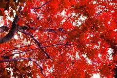 Bomen met rode bladeren stock afbeelding