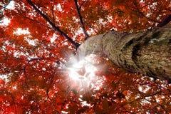 Bomen met rode bladeren stock foto's