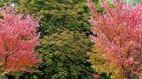 Bomen met rood de herfstgebladerte Stock Afbeeldingen