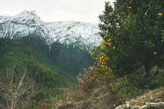 Bomen met sinaasappelen in bergtuin en sneeuwpieken Stock Fotografie