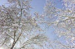 Bomen met sneeuw en een blauwe hemel op achtergrond Stock Foto's