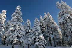 Bomen met sneeuw onder blauwe hemel worden behandeld die Stock Afbeeldingen