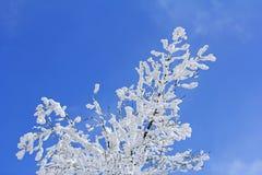 Bomen met takkenhoogtepunt van sneeuwwhit blauwe hemel Royalty-vrije Stock Foto's