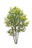 Bomen met witte achtergrond worden geïsoleerd die Royalty-vrije Stock Foto's