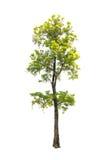 Bomen met witte achtergrond worden geïsoleerd die Royalty-vrije Stock Foto