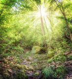 Bomen met zonneschijn in wild bos Stock Foto's