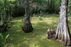 Bomen in moeras Royalty-vrije Stock Afbeeldingen