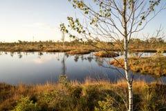 Bomen op het moeras Royalty-vrije Stock Afbeeldingen