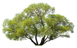 Bomen op witte achtergrond worden geïsoleerd die Royalty-vrije Stock Afbeeldingen