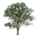 Bomen op witte achtergrond worden geïsoleerd die Stock Fotografie