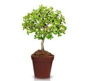 Bomen in potten Royalty-vrije Stock Foto