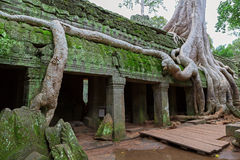 Bomen in Ta Prohm, Angkor Wat Stock Foto