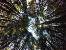 Bomen torenhoge bovengenoemd Stock Foto
