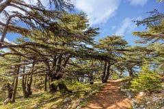 Bomen van Al Shouf Cedar Nature Reserve Barouk Libanon stock fotografie